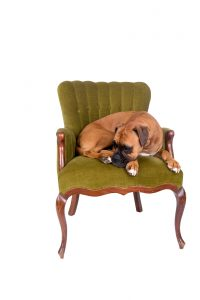 boxer dog on a green chair